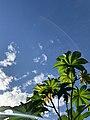 Palm with huge leaves.jpg
