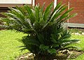 Palma cyca (Cycas revoluta) (4) (14428603123).jpg