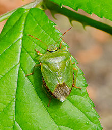 Palomena prasina - Green shield bug - Grüne Stinkwanze - Hesse - Germany - 01.jpg