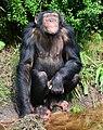 Pan troglodytes - Serengeti-Park Hodenhagen 12.jpg