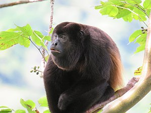Panamanian Male Adult Howler Monkey.jpg