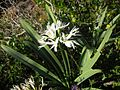 Pancratium illyricum 3 (Corse).JPG