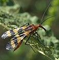 Panorpa nuptialis P1330899a.jpg