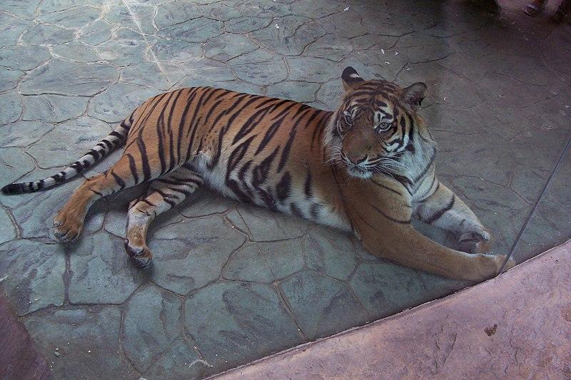 Soubor:Panthera tigris sumatran subspecies 2.jpg