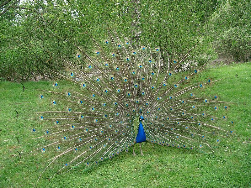 File:Paon bleu faisant la roue - peacock.JPG