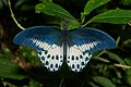 Papilio polymnestor-Kadavoor-2016-07-27-001.jpg