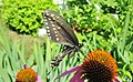 Papillon sur les pavots du jardin. - Butterfly on the poppy in our garden. - panoramio.jpg