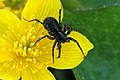 Pardosa.hortensis.female.jpg