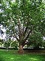 Park Charlotty G. Masarykové, strom (01).jpg