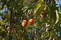 Passiflora caerulea C.jpg