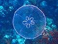 Patcipa meduza.jpg