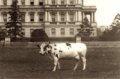 Pauline-taft-pet-cow.png