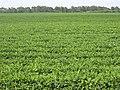 Peanut field, Pelham.JPG