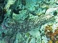 Pearsonothuria graeffei Maldives.jpg
