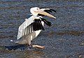 Pelecanus onocrotalus - Great White Pelican 02.jpg