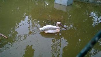 Pelican in zoo.jpg