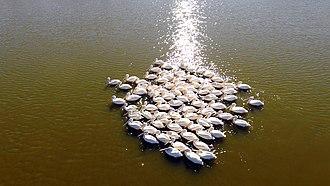 Fauna of Illinois - American White Pelicans on the Illinois River