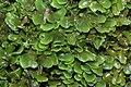 Pellia endiviifolia (b, 144739-474749) 2818.jpg
