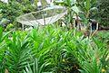 Pembibitan kelapa sawit (21).JPG