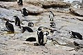 Penguin colony in Hermanus 23.jpg