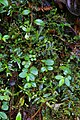 Peperomia sp. jamesoniana group and Peperomia aff. pilicaulis (Piperaceae) (30085317502).jpg