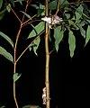 Perons Tree Frogs (Litoria peroni) (8398095760).jpg