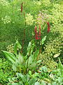 Persicaria griffithii (19473990444).jpg