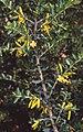 Persoonia asperula.jpg