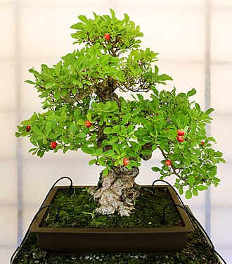 Bonsai - Punica granatum, Moyogi stile, about 40 years old, from the Bonsai museum in Pescia, Italy.