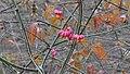 Pfaffenhütchen, Euonymus europaeus 03.jpg