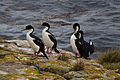 Phalacrocorax atriceps -Falkland Islands -four-8.jpg