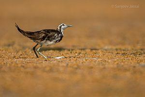 Pheasant-tailed jacana - Image: Pheasant tailed jacana SJ