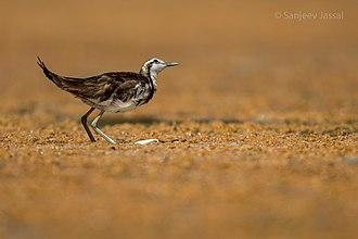 Jacanidae - Image: Pheasant tailed jacana SJ