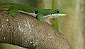 Phelsuma quadriocellata, Peacock day gecko.jpg