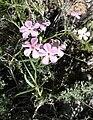 Phlox stansburyi var stansburyi 1.jpg