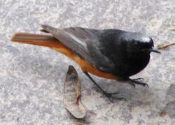 Phoenicurus ochruros ochruros.png