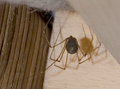 Pholcus phalangioides to lay eggs.png