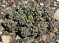 Physaria chambersii 4.jpg
