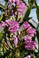 Physostegia virginiana Red Beauty 1zz.jpg