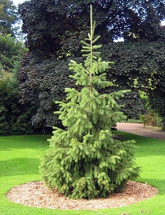 Picea smithiana - Morinda Spruce at Royal Botanic Garden Edinburgh