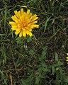 Picris hieracioides PID1775-4.jpg