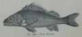 Picture Natural History - No 220 - The Ruffe.png
