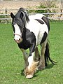 Piebald horse with hairy legs - geograph.org.uk - 783318.jpg