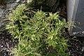 Pieris japonica Prelude 2zz.jpg