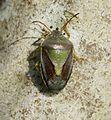 Piezodorus lituratus (Gorse Shieldbug) - Flickr - S. Rae.jpg