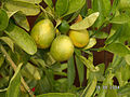PikiWiki Israel 10637 Lemon fruit.JPG