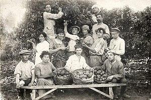 Ein Ganim - Citrus harvest at Ein Ganim, 1923