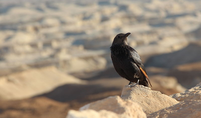 File:PikiWiki Israel 36191 The bird quot;Tristrams Starlingquot; at the bo.jpg