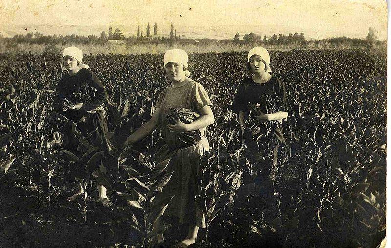 בשדה טבק