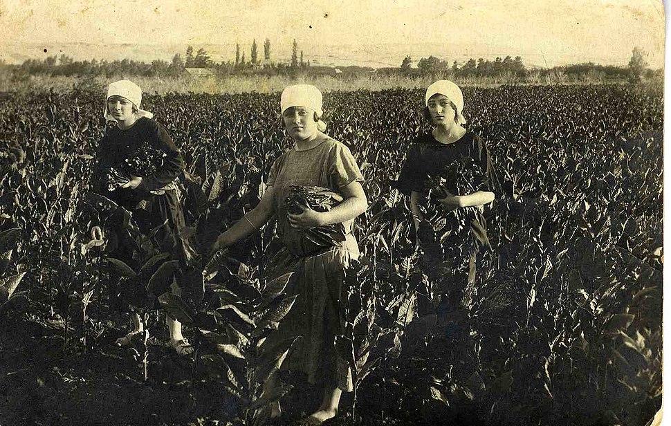 PikiWiki Israel 5871 Tobacco field